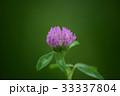 植物 花 紫詰草の写真 33337804