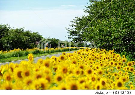 夏の大潟村 菜の花ロードと向日葵 33342458