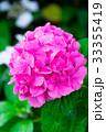 紫陽花 あじさい 花の写真 33355419