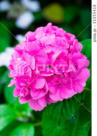 Hydrangea Flowers,in Tachikawa,Tokyo,Japan 33355419