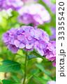 紫陽花 あじさい 花の写真 33355420
