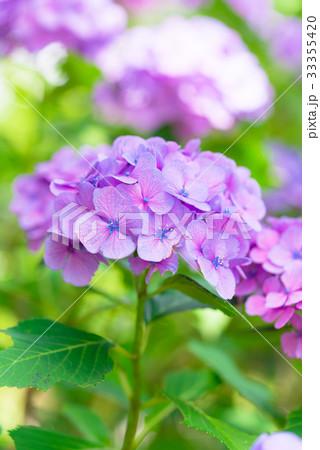 Hydrangea Flowers,in Tachikawa,Tokyo,Japan 33355420