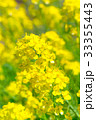 Rapeseed Flowers,in Noto,Ishikawa,Japan 33355443