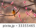 Daurian redstart bird and Japanese Red Plum Flower 33355465