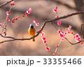 Daurian redstart bird and Japanese Red Plum Flower 33355466