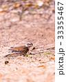 Dusky thrush bird,in Tachikawa,Tokyo,Japan 33355467