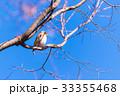 Brambling bird,in Tachikawa,Tokyo,Japan 33355468