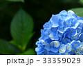 あじさい 紫陽花 青の写真 33359029