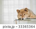 カメラ目線の柴犬 33365364