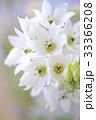 オーニソガラムの花のアップ 33366208