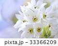 オーニソガラムの花のアップ 33366209
