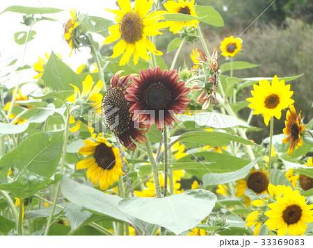 色々な花の咲くヒマワリモネパレットの赤色と黄色い花 33369083