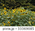 色々な花の咲くヒマワリモネパレットの黄色い花 33369085