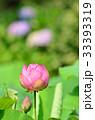 ハスの花 33393319