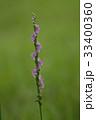 ネジバナ モジズリ 花の写真 33400360
