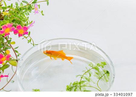 金魚とポーチラカの花 33401097