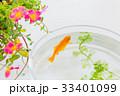 金魚 魚 ポーチラカの写真 33401099
