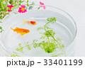 金魚 魚 ポーチラカの写真 33401199