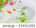 金魚 魚 ポーチラカの写真 33401200