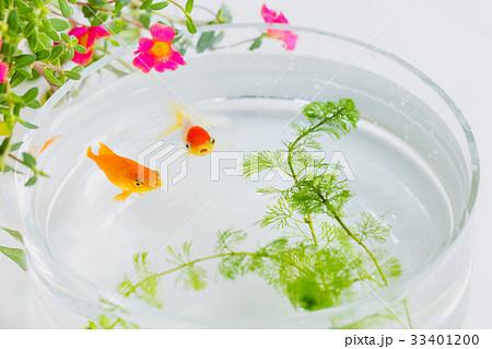 金魚とポーチラカの花 33401200
