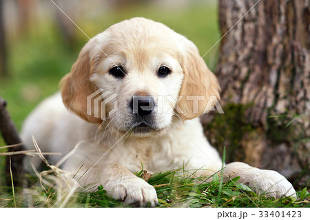young golden retriever puppy lying on grassの写真素材 33401423 pixta