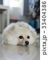 わんこ 犬 子犬の写真 33404386