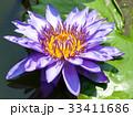 スイレン ブルーミング 開花の写真 33411686