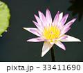 スイレン ブルーミング 開花の写真 33411690
