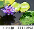 スイレン ブルーミング 開花の写真 33411698