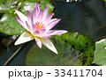 スイレン ブルーミング 開花の写真 33411704