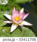 スイレン ブルーミング 開花の写真 33411706