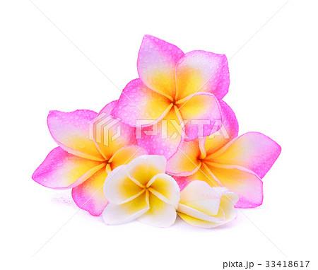 single pink frangipani plumeria tropical flower の写真素材