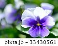 パンジー 花 開花の写真 33430561