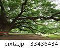 樹木 樹 ツリーの写真 33436434
