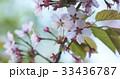 クローズアップ 桜 サクラの写真 33436787