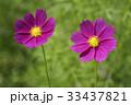 秋 花 屋外の写真 33437821