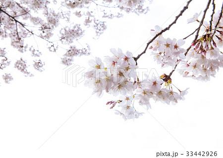 ローアングル 桜 春の花 33442926