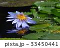 すいれん 花 睡蓮の写真 33450441