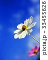 秋 花 コスモスの写真 33455626