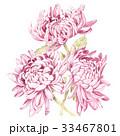 花 菊科 キクのイラスト 33467801