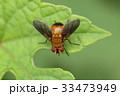 生き物 昆虫 シナヒラタヤドリバエ、体長八ミリほど。寄生バエの仲間。カメムシ類に寄生します 33473949
