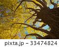 銀杏 黄葉 秋の写真 33474824