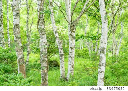 白樺の森 33475052