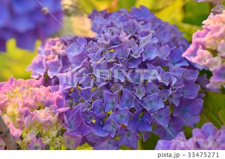 夕方の紫陽花 33475271