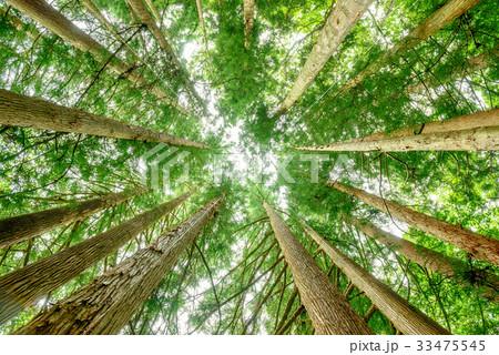 杉の木を見上げる 33475545