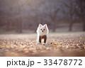 チワワ 犬 冬の写真 33478772
