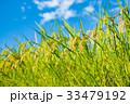夏の稲(8月) 33479192