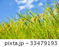 夏の稲(8月) 33479193