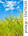 稲 田んぼ 夏の写真 33479195