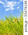 稲 田んぼ 夏の写真 33479196